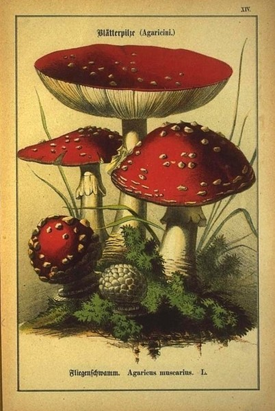Amanita muscaria as Agaricus muscarius