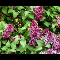 Some flowers and such #purple #flowers #nature #green #branch #leaves #tree #thingie #nature #photo #photography #filter #edit #focus #rainy #gloomy #weather #school #art #random #duluth #duluthmn  (Taken with instagram)