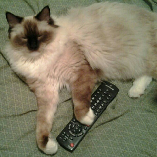 Now that's more like it!- #Mr.Darcy with tv remote(battery back in,lol) #Darcy doodle, #silly #cats #kittens #Ragdoll #Cute #Seal-Mitted #tv #remote (Taken with instagram)
