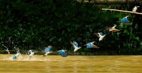 This image captures a white collared kingfisher's flight sequence. The ten action shots were all caught within half a second by award-winning photographer CS Ling while on a river wildlife photo safari in Borneo. The photographer said: The shutter speed of 1/2000s was just right to freeze all ten different wing postures of the kingfisher.  Picture: C.S. Ling / Rex Features