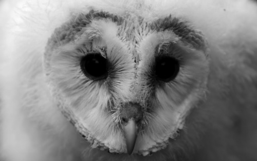 worldlyanimals:  young barn owl, Germany  photographer: J.Janotta, tumblr: http://sp-jj.tumblr.com/
