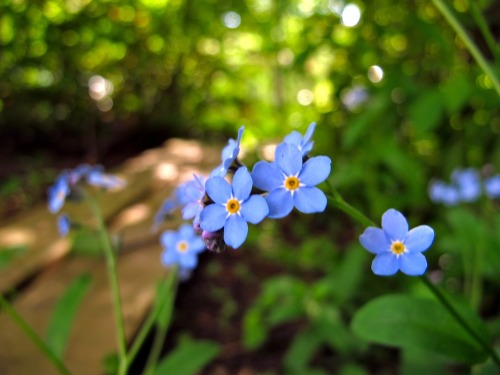some forget-me-not from my garden ^^