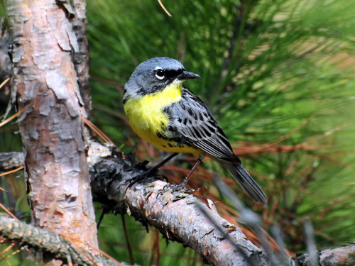 The Kirtland's warbler, an endangered species, is a songbird that nests in young jack pine stands. Until 1995 Kirtland's warblers had only been known to nest in the northern part of Michigan's Lower Peninsula. Today, they also nest in the Upper Peninsula, and since 2007, have nested in Wisconsin and Canada. They migrate from their nesting grounds to the southeastern coast of the United States on their way to wintering grounds in the Bahamas.Photo: Joel Trick, USFWS