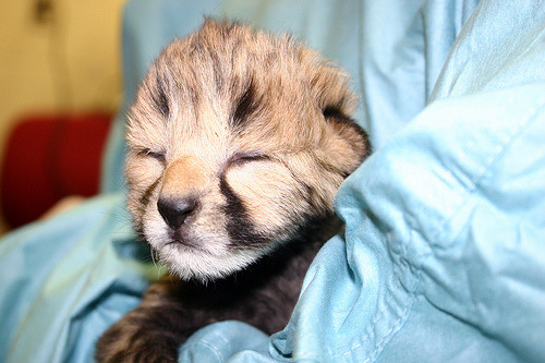 Image description: Two new cheetah cubs, pictured here at 2 and 16 days of age, were born earlier this month at the Smithsonian National Zoo's Conservation Biology Institute in Front Royal, Virginia. The cubs, valuable additions to the dwindling genetic pool of this endangered species, should make their debut at the Zoo in late summer. But first, they had to survive a harrowing birth experience. Five-year-old cheetah and first-time mom Ally gave birth to the first cub, a male, April 23. However, instead of nursing and cleaning the cub, she abandoned him, relatively common behavior for first-time mothers under human care. Cheetah keepers moved the cub to the veterinary hospital to be treated for severe hypothermia. When Ally suddenly stopped having contractions hours later, vets anesthetized her to see if she had additional cubs. Additional heartbeats were heard, and a radiograph determined that three cubs remained. Vets performed a cesarean section, a procedure rarely used on cheetahs and one that cubs do not often survive. A team of veterinarians, keepers and scientists worked for three hours to resuscitate the three cubs, performing CPR, administrating medications, and rubbing the cubs to dry and warm them. One of the three cubs, a female, did survive. Both cubs and their mother were in intensive care for the following three days. The cubs' father, Caprivi, was brought to the veterinary hospital to donate plasma to the cubs to boost their immune systems. Today both cubs and their mother appear to be in good health, though animal care staff is continuing to monitor all three carefully. Check out more images and news about the cubs.