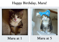 huffingtonpost:  theclearlydope:  Tonight, for you Maru I will jump in a box that my ass won't fit into. Happy Birthday buddy. expresident:  Happy birthday Maru I love you.    Happy birthday Maru!