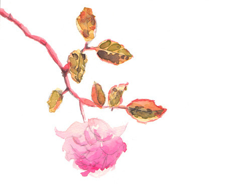 pampong:  rose sketch by Amy Farrier on Flickr.