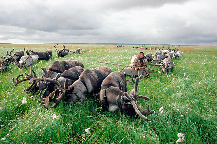 Migrating Nenets sled reindeer graze on sedges, Yamal Peninsula, Siberia By Bryan & Cherry Alexander (via findout)