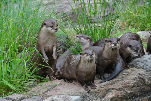 """Otterly adorable"" baby otters at the DC National Zoo in May 2012! "" The otter family's trip from Santa Barbara was paid for by Whole Foods Market, which in addition to paying for transportation, conservation and otter-themed programming, also won naming rights. Yep, all but one of the National Zoo's newest residents have food-themed names. The father is Chowder. The mother is Clementine. And their children are named Pork Chop, Pickles, Saffron, Olive, Peaches, Turnip, Radish, Rutabaga and Kevin. Eight of those names were selected by Whole Foods; the ninth was picked through a Facebook poll, and you'll never guess which one."""
