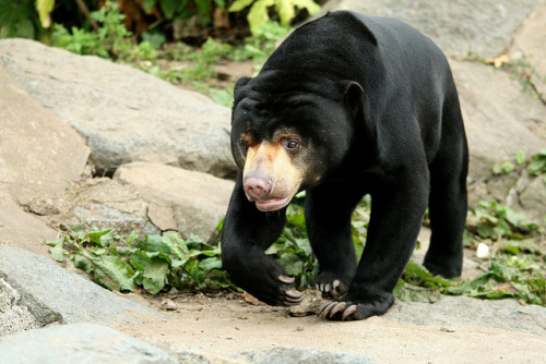 Sun Bears Edinburgh Zoo has two sun bears named Somnang and Rotana. They came to live at Edinburgh Zoo in 2010. Somnang and Rotana are brothers, and are approximately six years old. The boys are great friends and spend most of their time snoozing together and foraging for fruit and nuts. Rotana, a popular modern Cambodian name, gets very excited, searching high and low to sniff out hidden goodies. Somnang, meaning Lucky, takes things more slowly, usually meandering after Rotana who has put in the ground work. They love nothing more than rolling around on their backs, licking honey and wrestling together in their swimming pool.