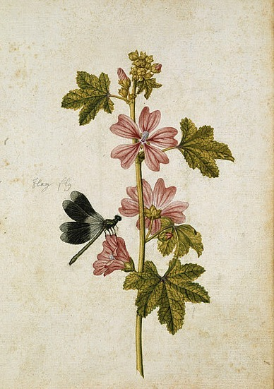 Jacques Le Moyne de Morgues Mallow Blossoms and Damselfly 1575