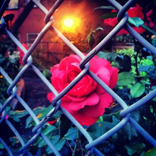 #rose #summer #perspective  (Taken with instagram)