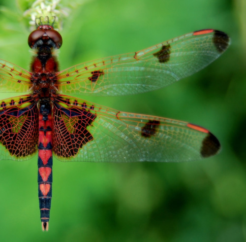 fatchance:  Scenes from Sandy Bottom: Calico pennant dragonfly (Celithemis elisa ♂), in Newport News, Virginia.  Please click photo for full view.