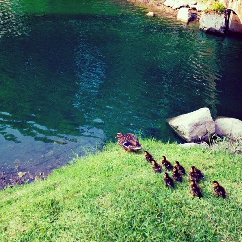 Young mommy n lil babies #ducks #ducklings #dailyphoto #picoftheday #dailypic #iphone4s #iphonography #iclicks #apartment #instagram #instamood #instagram #instagood #instagramers #instagramhub #ighub #igers  (Taken with Instagram at St. Andrew's Apartments)