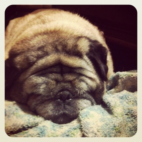This is a no-name pug ! Tara please leave a comment with your pug's name and your IG name! #pugs  #pugsofinstagram #pug  (Taken with instagram)