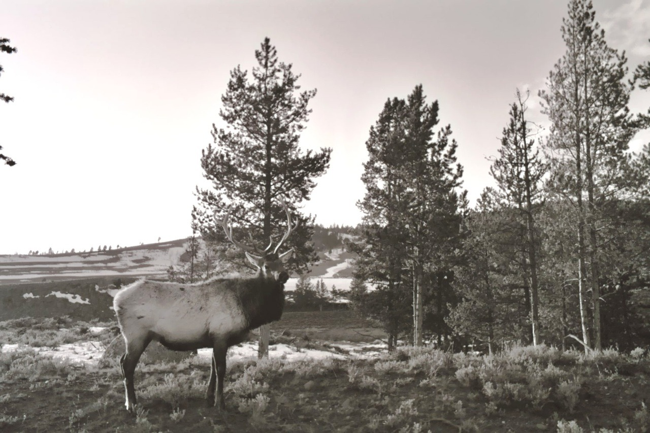 Yellowstone Elk. (Dre's Addictions 2004)