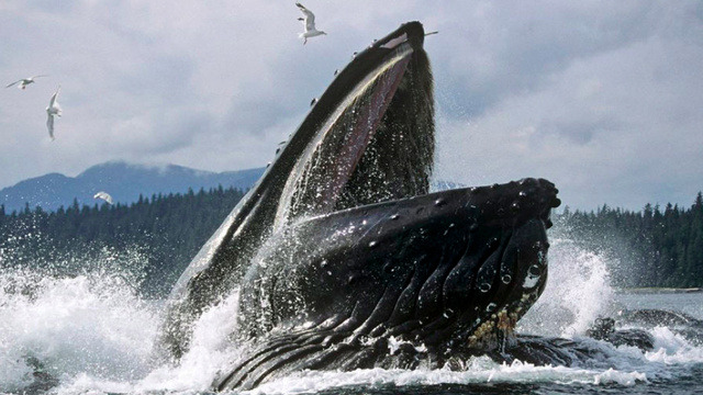 """Whales are like mammals from space,"" paleobiologist Nick Pyenson explains, ""they just have all these strange adaptations to living life in the water.""  You've heard it from a scientist in this io9 article, the movie Star Trek 4 and Spock said it first, whales are from space…"