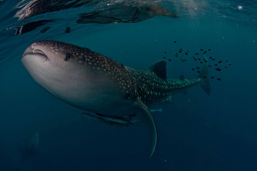elegant whaleshark by Paul Cowell on Flickr.
