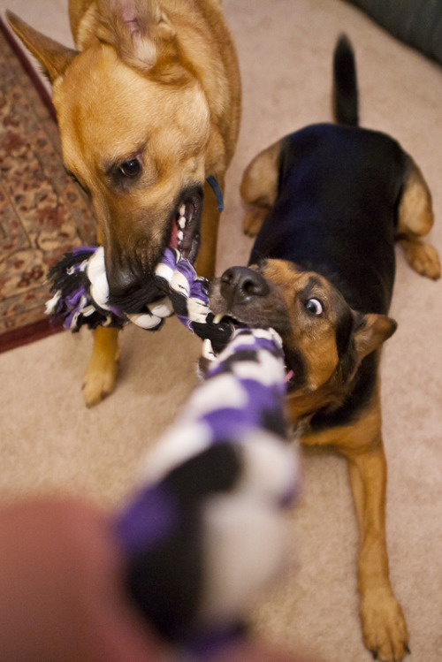 "Riley is displeased with Cooper's decision to help in tug of war.""Mine, mine, mine!"""