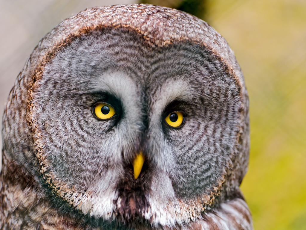 llbwwb:  Again, an owl! (by Tambako the Jaguar)