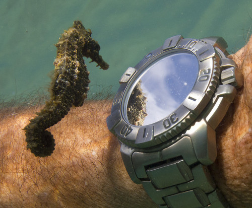 magicalnaturetour:  Little seahorse checks his reflection in the diver's watch by Don McLeish via Imigur :)