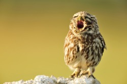 Yawning little owl (by: Yves Adams)