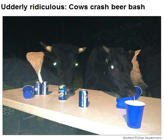 Cows just wanna have fun.  And you thought you were starting the long weekend early.