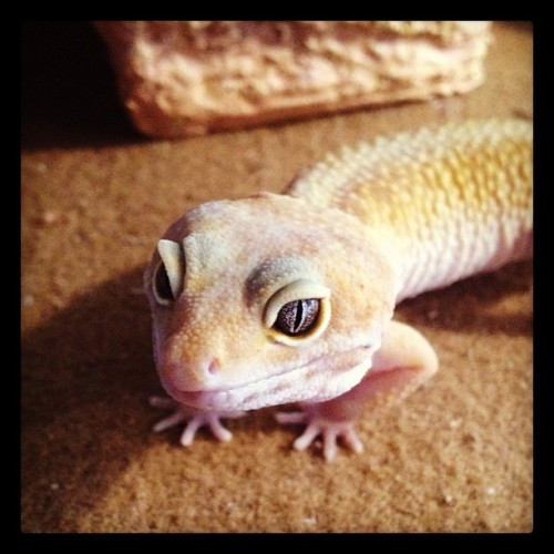 The only little girl in the house. #gecko (Taken with instagram)