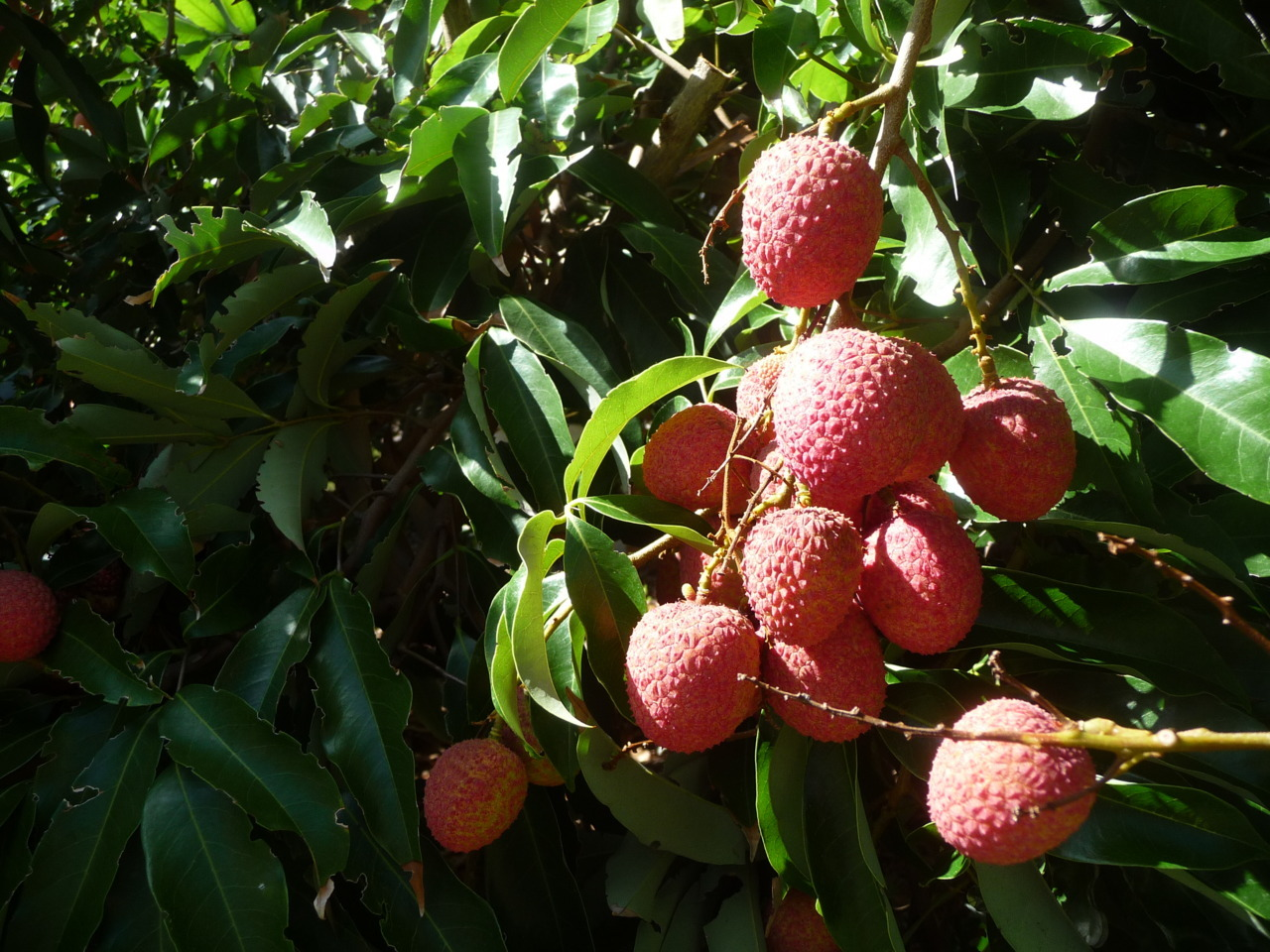 Last year's crop of lychee when I visited the parentals.  Signs of summer guys. As juicy and as succulent as you think they are, they were awesome after being chilled.