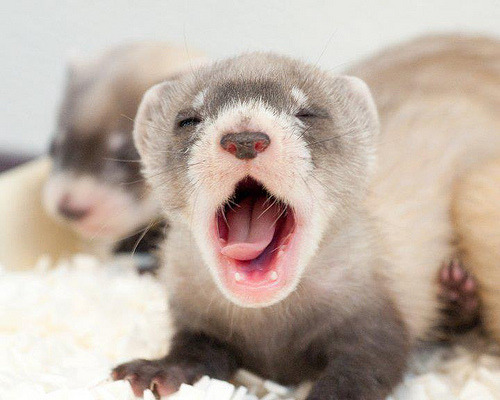 Image description: A tired black-footed ferret kit yawns at the National Black Footed Ferret Conservation Center in Colorado. The black footed ferret, the only species native to North America, was considered extinct as recently as 1981 when 24 were discovered in Wyoming. After an emergency conservation program started by the U.S. Fish & Wildlife Service, there are now more than 1,000 in the wild, each a descendant of 18 ferrets trapped in 1987. Learn about the Black-Footed Ferret Recovery Program. Photo from the U.S. Fish & Wildlife Service. Photo by Kimberly Tamkun.