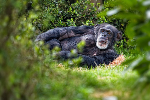 worldlyanimals:  Chimpanzee Time To Myself (CelticOrigins Photography)