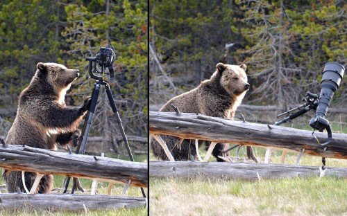A grizzly bear is caught destroying camera equipment in Yellowstone National Park, Wyoming. The clumsy 500-pound bear inspected the expensive camera and tripod, before knocking it over and squashing it. Luckily, wildlife photographer Andrew Kane had rented the gear - and had another camera to catch the animal in the act. He'd abandoned the camera after the bear started to approach him.Picture: Andrew Kane / Barcroft Media (via Pictures of the day: 25 May 2012 - Telegraph)