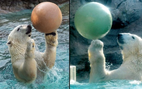 Willie the polar bear plays with a ball in his pool at the North Carolina Zoo, Asheboro. Willie was rescued in 2002 from a travelling circus, where he was kept in a cramped cage and fed only vegetables.  Picture: Valerie Abbott / Barcroft Media
