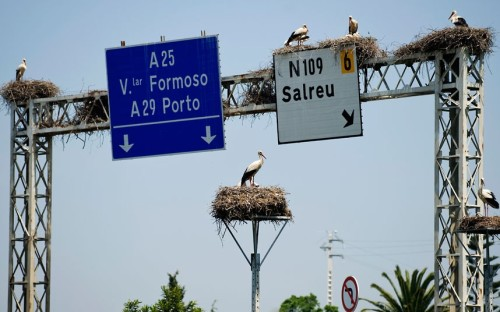 Storks nest on motorway signs outside Aveiro, Portugal.  Picture: Paulo Duarte/AP