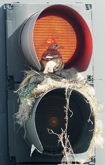 A thrush looks out from its unusual nest inside a traffic light in Leeds city centre.  Picture: Anna Gowthorpe/PA