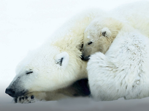pandahadnap:  polar bear had nap.