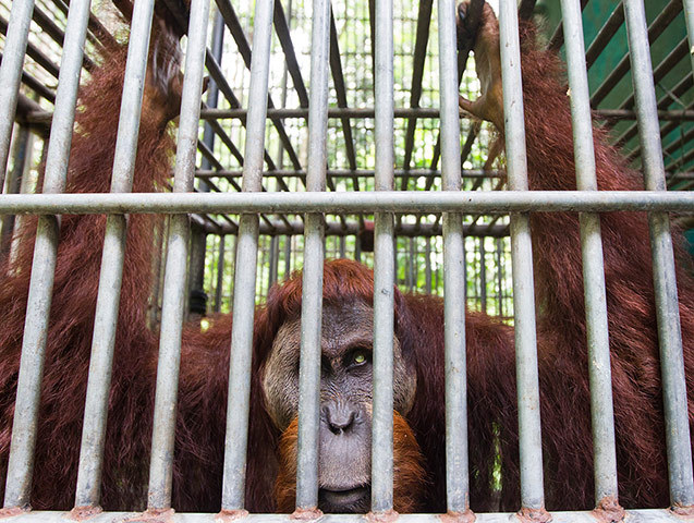 Leuser, a blind Sumatran orangutan has survived poachers, air rifles and deforestation during its 13 years. The animal has been saved twice by the Sumatran orangutan conservation programme. It now resides in captivity at their quarantine centre in Medan after being shot 62 times by villagers seeking entertainment. Photograph: Paul Hilton