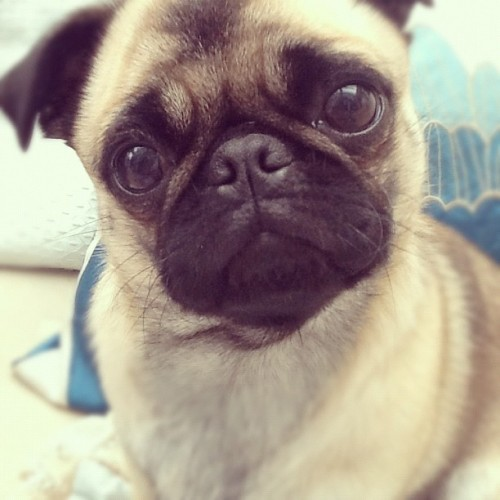 "cutepugpics:  Puggie has set his big, soft eyes to ""beg"" mode!"