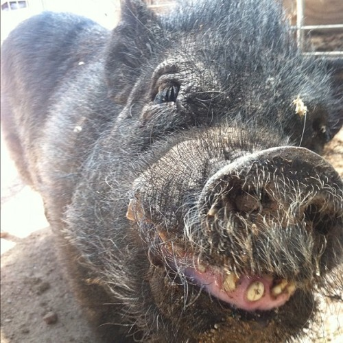 Joey #arizona #ironwood #happy #sanctuary #rescue #pig #cute  (Taken with instagram)