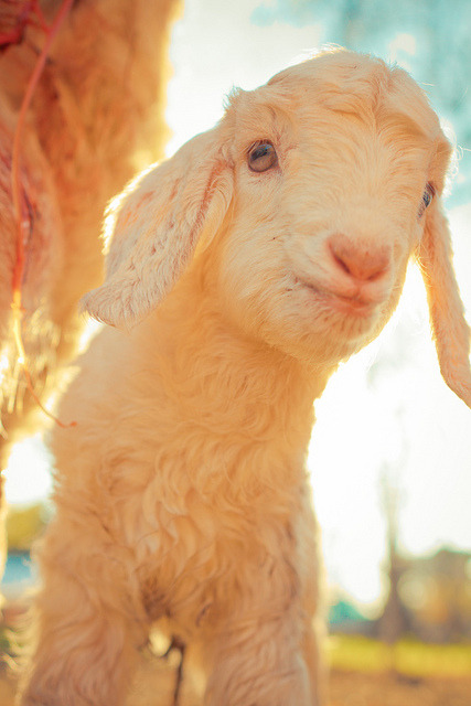 worldlyanimals:  Baby Goat (TC Morgan)