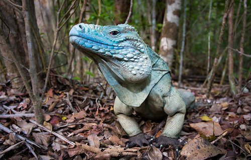 "earth-song:  ""Blue Iguana"" by Will Burrard-Lucas"