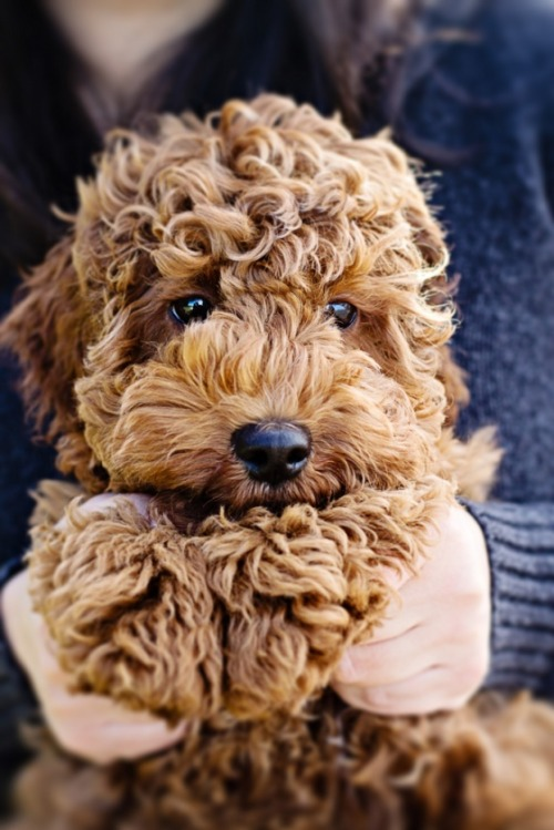 lavendersummers:  Dying this puppy is so cute.