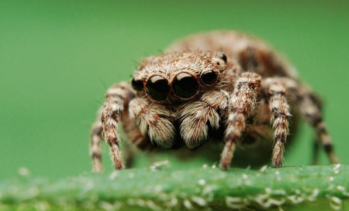 adorablespiders:  Adult female Naphrys pulex  uuuu little bab