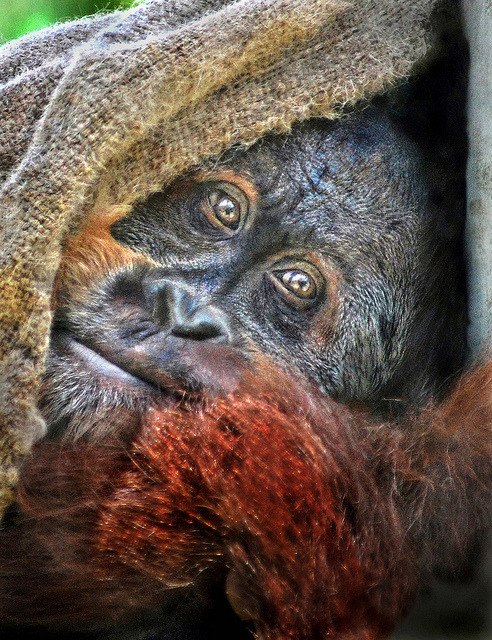 worldlyanimals:  Orangutan With a Security Blanket.You don't even understand how much I love this picture. This photographer is amazing and this is such a beautiful creature. (Stinkersmell)  Those eyes.