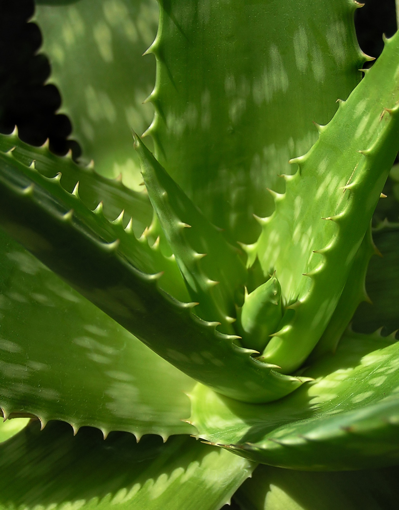 Aloe vera, of course, is known for its medicinal uses. It is a succulent and is thought to have originated in northern Africa. It retains a large amount of water in its tissue, and that moisture is used for various folk remedies.