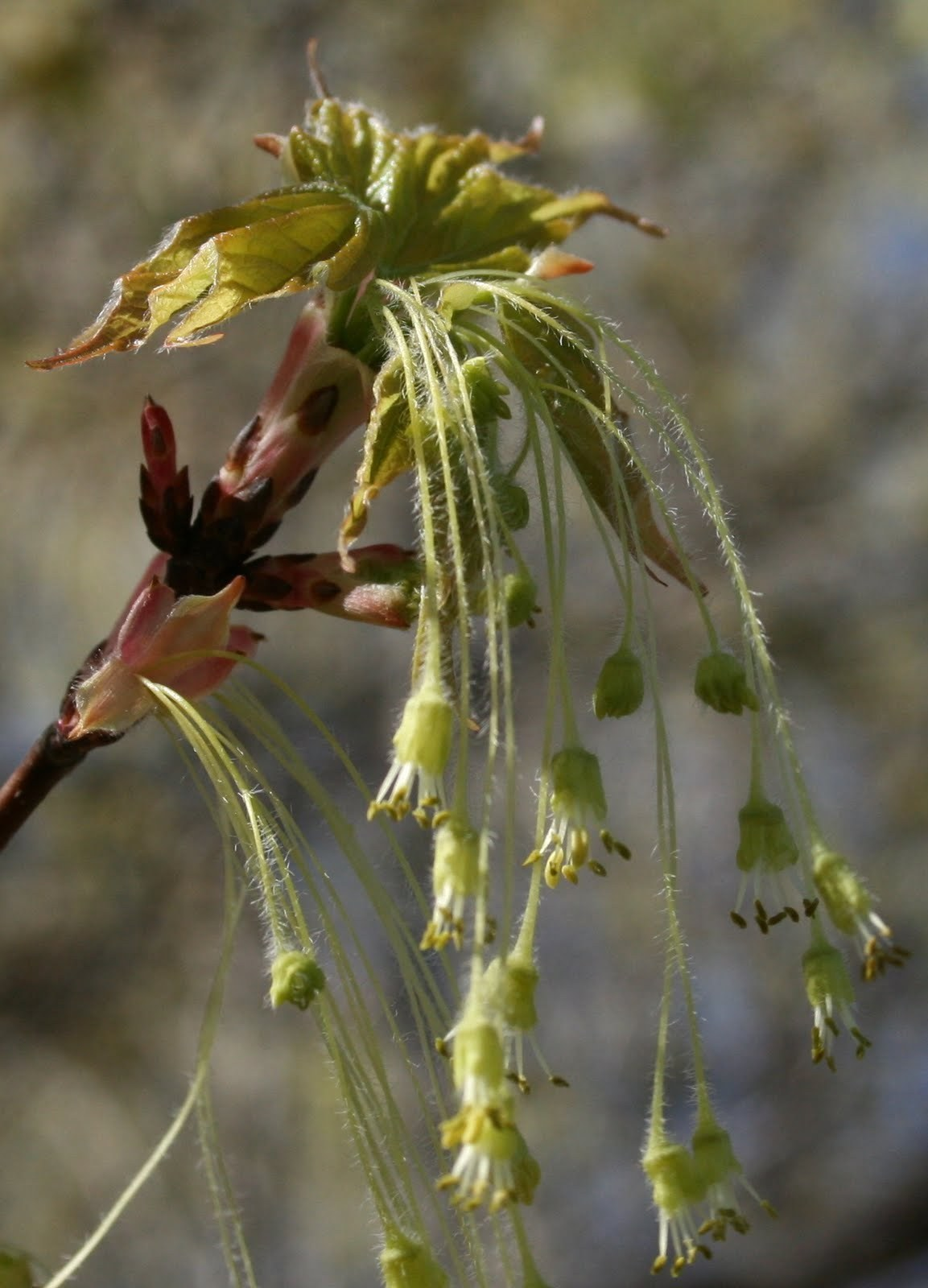 The flower of a sugar maple. The stamens are long, allowing the pollen to be caught and distributed by the wind.