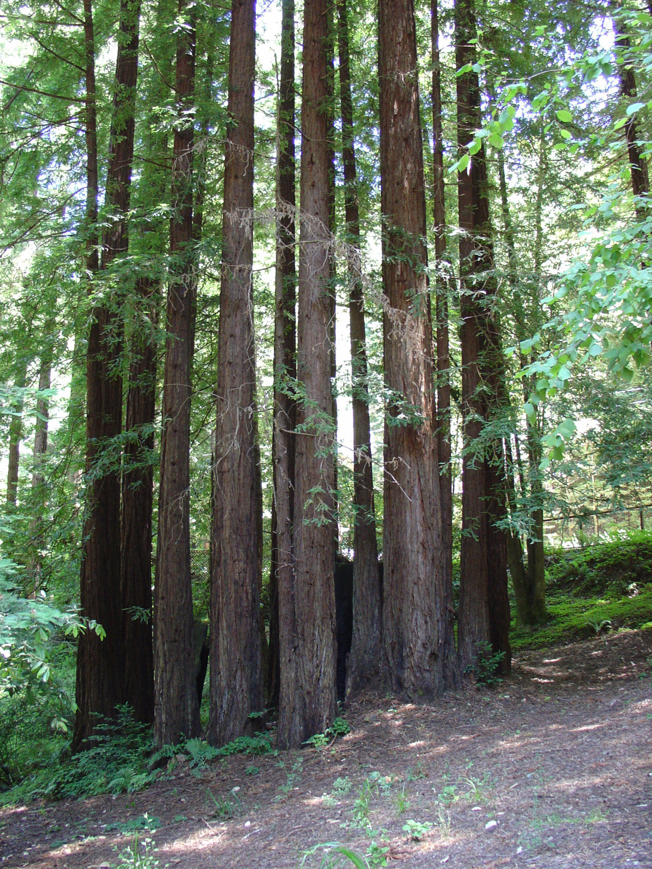 A circular growth of coastal redwoods like this is called a fairy ring. When a tree is cut down, trees regrow from the underground root system, clones of the original. Though they appear separate, all of the trees in a fairy ring are part of the same organism.