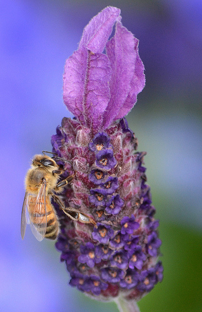 worldlyanimals:  Bee on a Purple Flower (Stinkersmell)