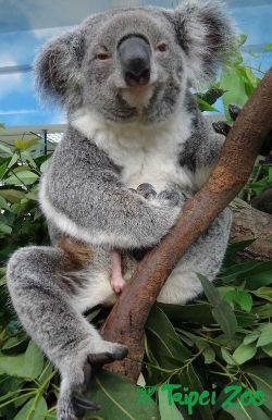 (via Can you see it? Koala joey plays peek-a-boo, one limb at a time - ZooBorns)