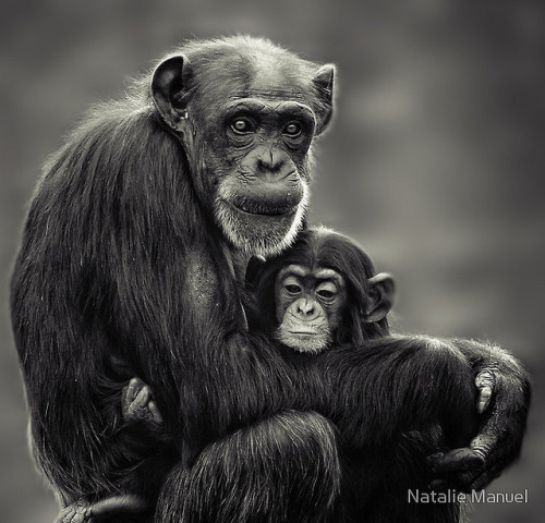 worldlyanimals:  Family (Chimpanzee mother and baby) by NatalieManuel
