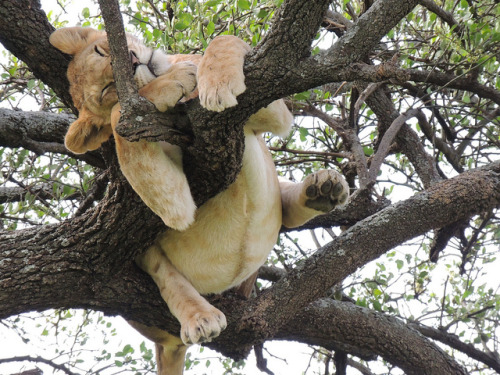 lolcreatures:  tigersandcompany:  Lion cub (by KarellTravelGroup)  Lion napping position #314.